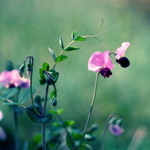 Sweet pea von Inna Merkish
