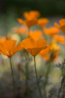 California poppies by Inna Merkish