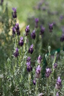 Lavender von Inna Merkish