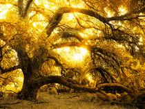Golden Oak by Robert Ball