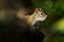 Close Squirrel by linconnu