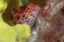 Korallenwächter, Dwarf hawkfish, von Heike Loos