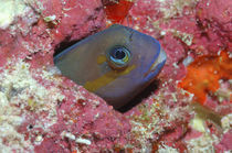 Blenny Maldives by Heike Loos
