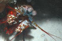 Fangschreckenkrebs von Heike Loos