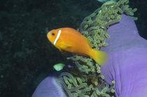 Anemonenfisch, maldivian anemonefish von Heike Loos