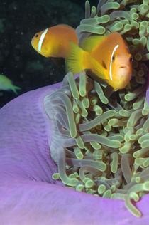 maldivian anemonefish,  von Heike Loos