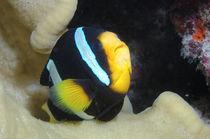 Clarks Anemonenfisch, Amphiprion clarkii, Malediven, Indischer Ozean, maldives, fihalhohi, south male atoll,  von Heike Loos