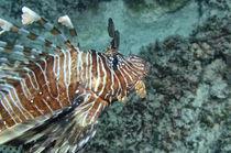 indian lionfish, Feuerfisch, von Heike Loos