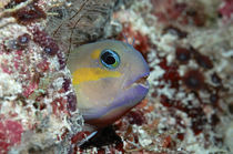 Blenny Malediven by Heike Loos