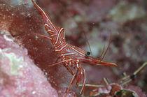 Tanzgarnele, Dancing Shrimp von Heike Loos