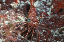 Dancing Shrimp, Tanzgarnele von Heike Loos