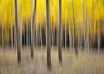 abstract autumn cottonwood forest by Ed Book
