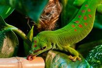 Großer Madagaskar Taggecko  by Cornelia Dettmer