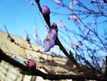 Blossoms by Nicoleta Costin