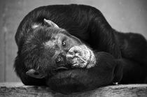 Chimpanzee by cvc-photo