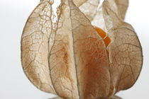 Physalis by Bryan Bennett