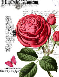 Paris Pink Rose Illustration by oopsy