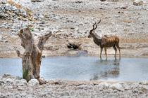 Der große Kudu by Jürgen Klust