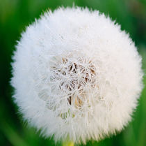 Dandelion head by andrew  Bowkett