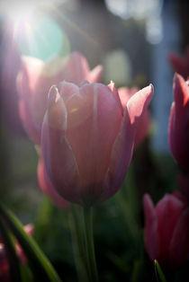 Tulipsrt