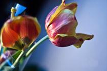 tulip by Vadym Sapatrylo