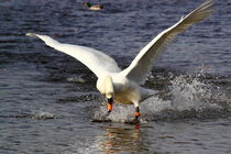 Swan-attack-1