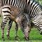 Zebra-mit-fohlen-ready1
