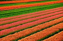 Haarlem-flowers