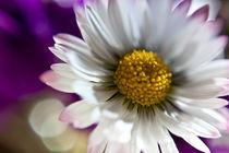 daisy close-up by Federico Paoli