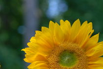 The Sunny Sunflower by Tom Warner
