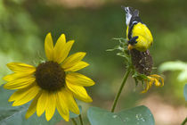 Yellow Finch and Sunflower by Tom Warner