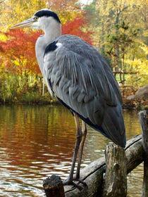 Reiher, Fischreiher am Teich,  von Simone Cuambe