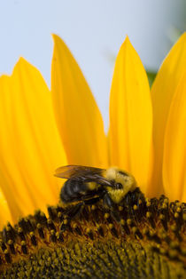 Bee on Sunflower by Tom Warner