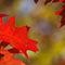 Imgp1278-red-oak