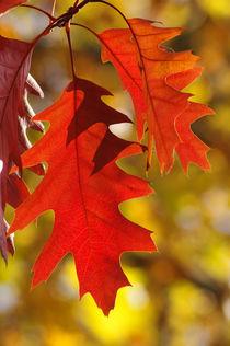 Quercus rubra ii by daniela scharnowski
