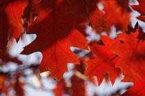 Quercus rubra by daniela scharnowski