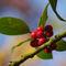 Imgp1165-ilex-aquifolium
