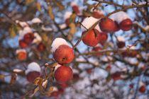 Red apples in snow von Stas Kalianov