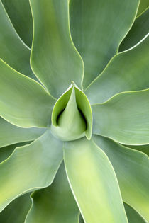 Agave attenuata plant by Neil Overy