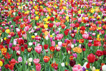 Field of Mixed Tulips von Neil Overy