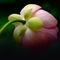 Lotussepals
