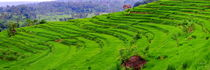 Balinese rice fields are created as terraces by fotoping
