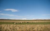Icelandic landscape with sheep by Yvonne Schüttler