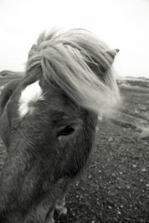 Icelandic pony by Yvonne Schüttler