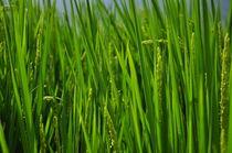 rice/ reisfeld von huiwen chen