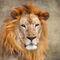 Lion3564a