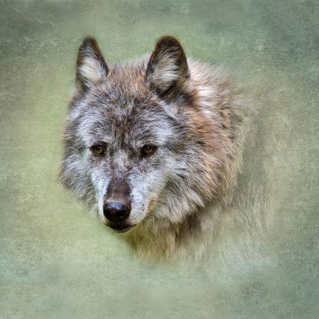 Wolf0622a