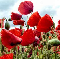 Poppies von Debra  Collins