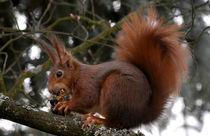 Eichhörnchen by Alfred Klaus