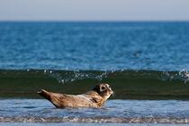 Seehund auf Helgoland by Thomas Mertens